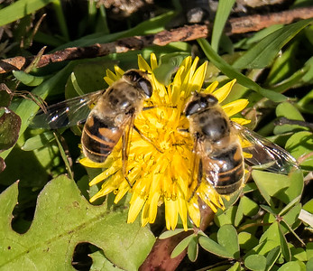 Drone Fly (or Large Hoverfly) (Eristalis tenax)