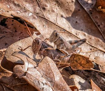 Scudder's Short-winged Grasshoppers (Melanoplus scudderi)