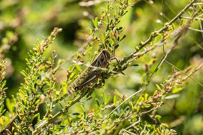 Grasshopper No. 1