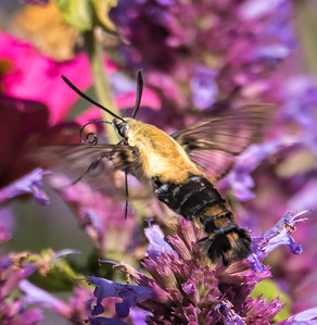 Snowberry Clearwing Moth (Hemaris difffinis)