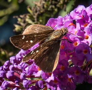 Clouded Skipper (female)