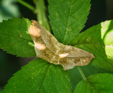 Large Maple Spanworm Moth (Prochoerodes lineola)