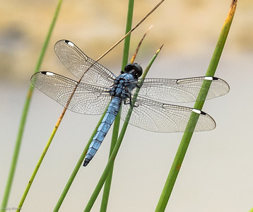 Spangled Skimmer (male)