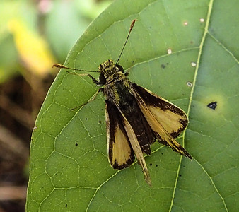 Zabulon Skipper (male)