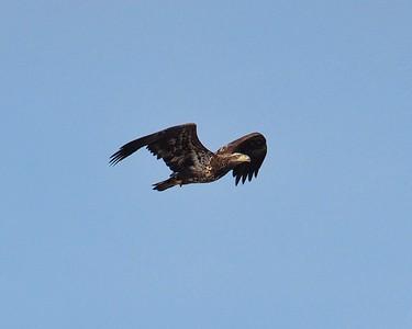 Bald Eagle Flight Series 1