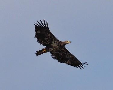 Bald Eagle Flight Series 6