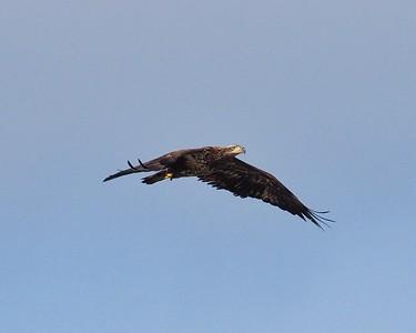 Bald Eagle Flight Series 4