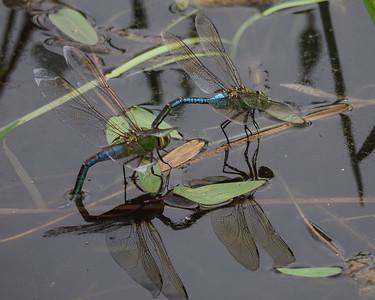 Green Darners - Uncommon blue female form depositing eggs