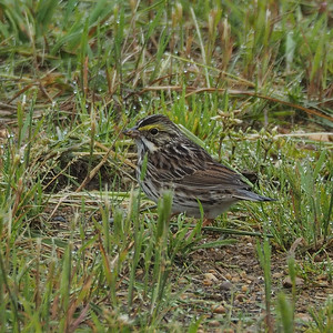 Savanna Sparrow