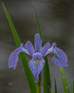 Northern/Larger Blue Flag Irus - Iris versicolor
