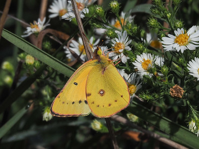 Orange Sulphur, male