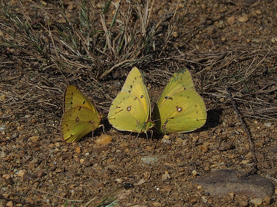 Orange Sulphur, males