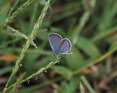 Eastern Tailed-blue, male