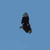 Black Vulture checking us out