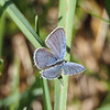 Eastern Tailed Blue,  male