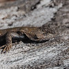 Eastern Fence Lizzard
