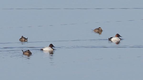 Canvasback and Ruddy Ducks