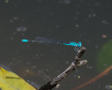 Slender Bluet, male