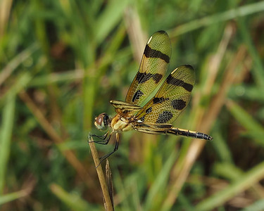 Haloween Pennant, female