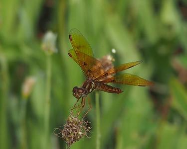 Eastern Amberwing, male