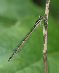 Big Bluet, female