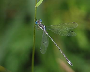 Southern Spreadwing, male