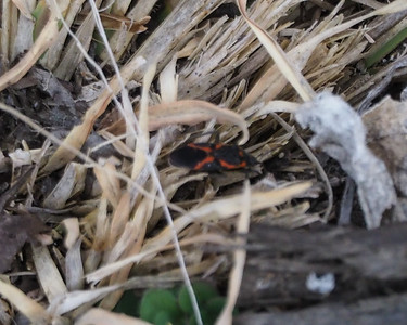 Small Milkweed Bug?