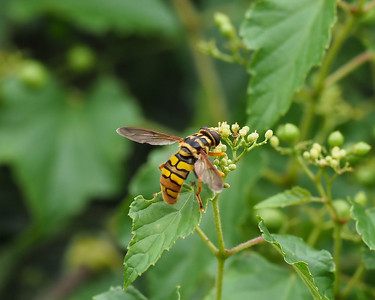 Yellow Jacket Hover Fly