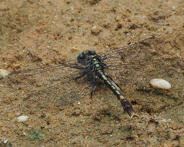 Unicorn Clubtail, male