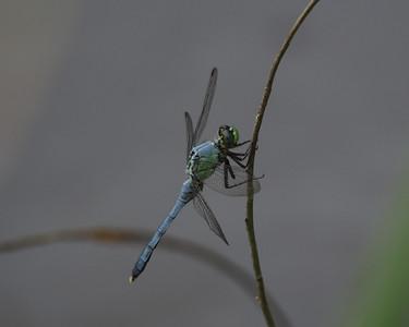 Eastern Pondhawk, male