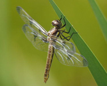 Twelve-spotted Skimmer, teneral female
