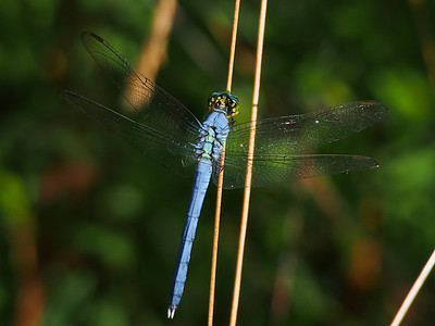 Common Pondhawk, male