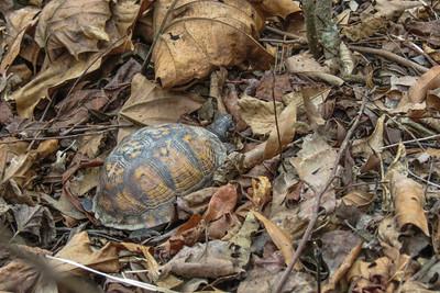 Eastern Box Turtle (young) (Terrepene carolina carolina)
