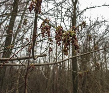 Box Elder (maple) (Acer negundo)