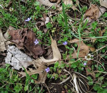 Virginia Buttonweed (Diodia virginiana)