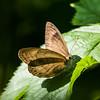 Appalachian Brown
