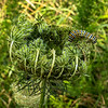 Black Swallowtail Butterfly Caterpillar