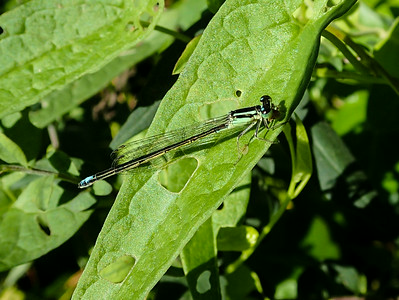 Eastern Forktail Damselfly (andromorph)