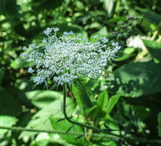 Queen Anne's Lace Blossom