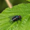 Blue Blowfly?
