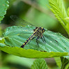 Unicorn Clubtail (female)