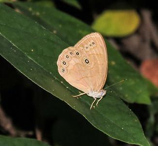 Appalachian Brown Butterfly