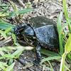 Painted Turtle (juvenile)