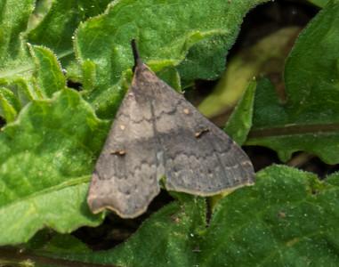 Speckled Renia Moth (Renia adspegillus), Metz Wetlands, Woodbridge, Virginia