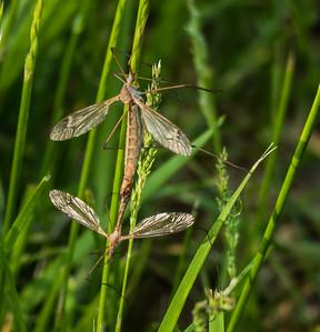 Crane Flies in tandem, Metz Wetlands, Woodbridge, Virginia