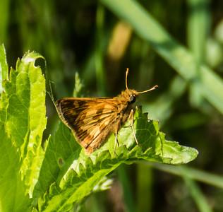 Peck's Skipper, Metz Wetlands, Woodbridge, Virginia