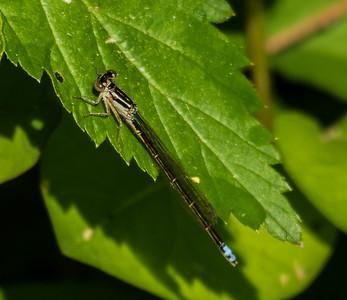 Eastern Forktail (male), Metz Wetlands, Woodbridge, Virginia