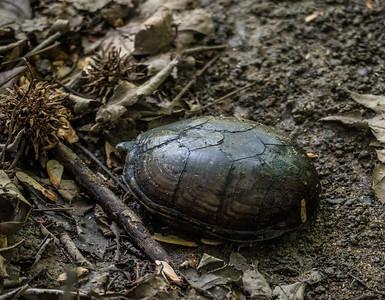 Mud Turtle, Metz Wetlands, Woodbridge, Virginia