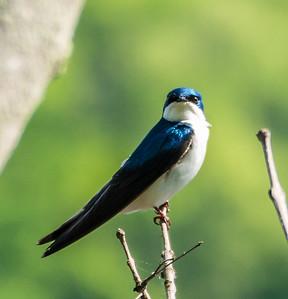 Tree Swallow, Metz Wetlands, Woodbridge, Virginia
