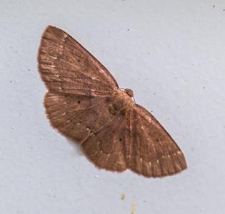 Black-dotted Ruddy Moth (Ilecta intractata), Fairfax, Virginia
